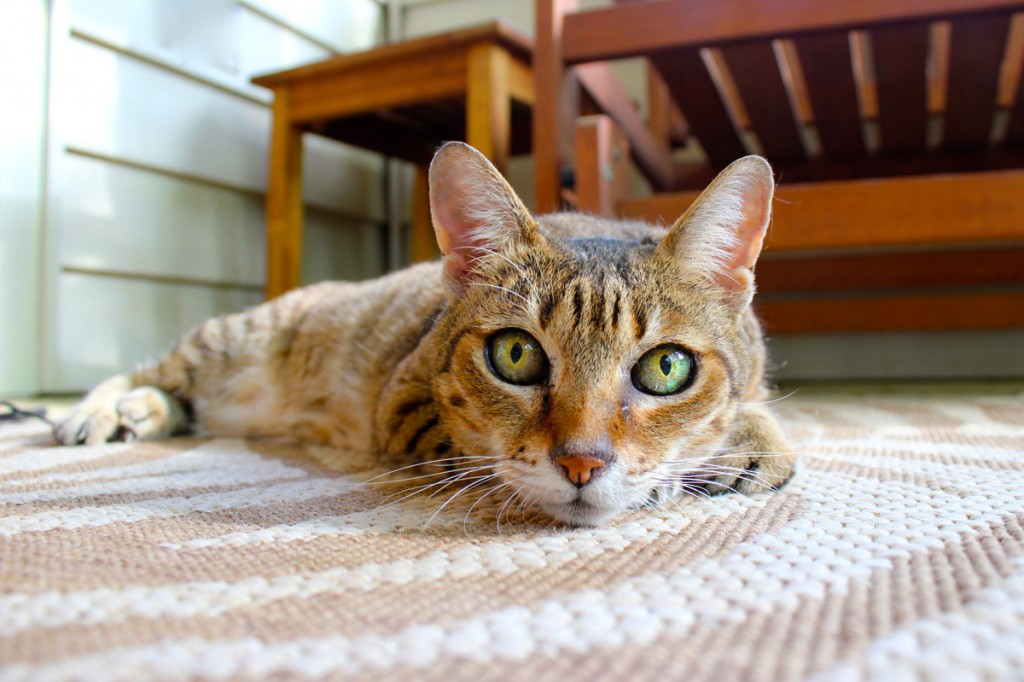 Photo of green-eyed cat to illustrated a post about adjective order