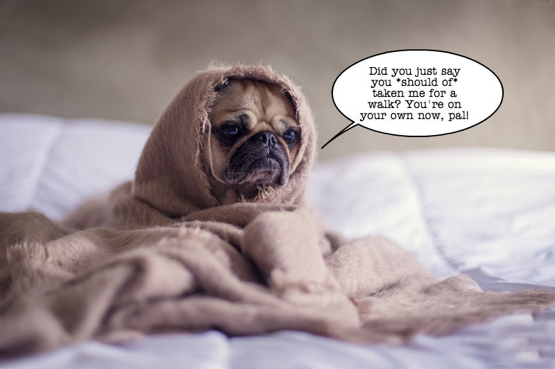 A photo of a pug in a blanket to illustrate a post about common grammatical mistakes