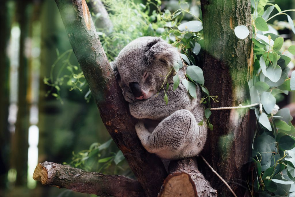Photo of a koala to illustrate a blog post about clinging onto grammar rules